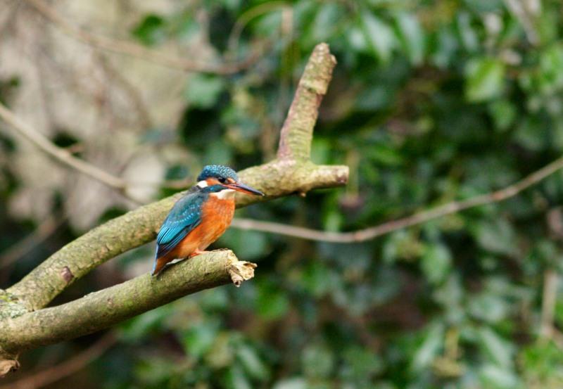 European_Kingfisher